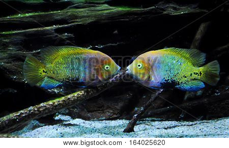 Two Multicolored Fish Floating Symmetrically