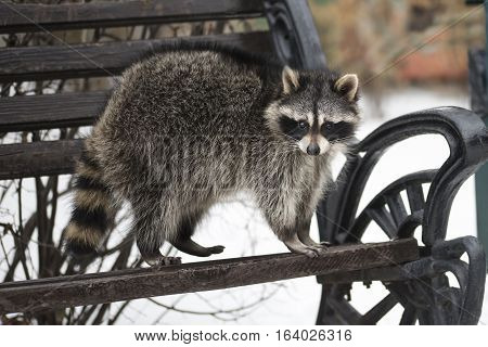 The raccoon with a striped fluffy tail costs on a bench in the winter park