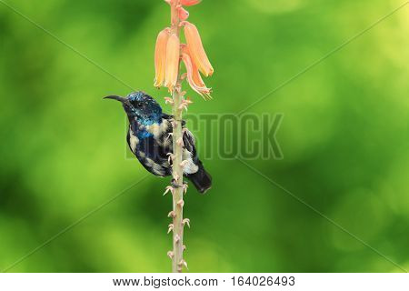 Purple Sunbird Wildlife on Aloe Vera Plant Flower