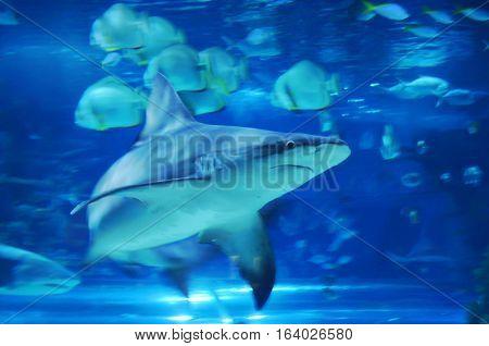 One Large Shark Among Many Small Fish