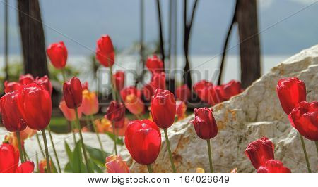 Red tulips and stone near the lake