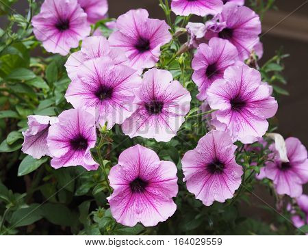 close up purple petunia flowers hanging in the basket.