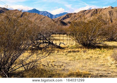 Creosote Plants which is a prominent desert shrub surrounded by mountains taken near Palm Springs, CA