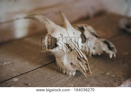 two skulls of goats on a wooden table
