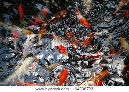 white and red fishes play in water and ruffle freshwater surface