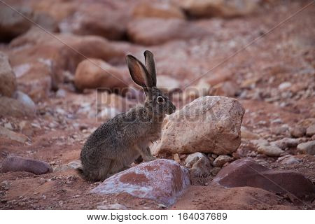 Rabbit inthe desert of The Wave Coyote Buttes Paria Canyon-Vermilion Cliffs Wilderness