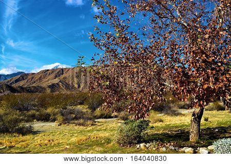 Sycamore Tree changing colors during autumn taken in the desert surrounded by mountains near Palm Springs, CA