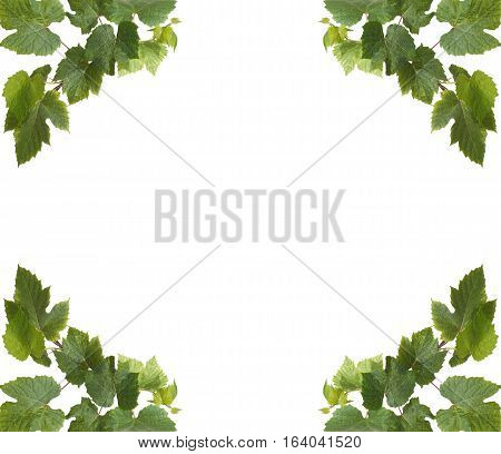 Collage of green grape leaves in four corners on white background