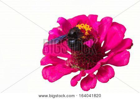 isolated bluebottle on flower on white garden
