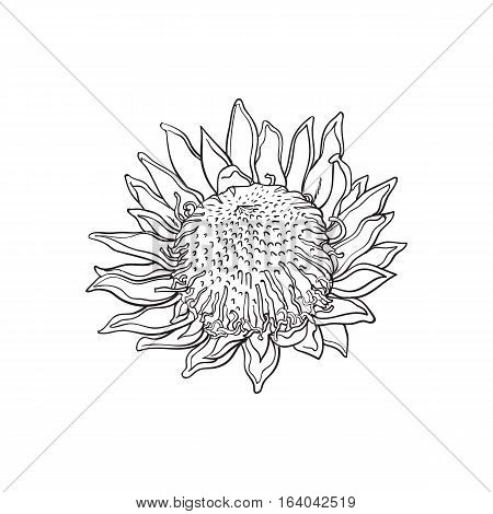 Single king protea, sketch style vector illustration isolated on white background. realistic hand drawing of exotic, tropical protea, national flower of South Africa