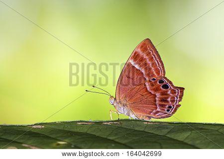 A double banden judy butterfly enjoyng sunbath