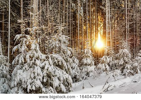 Sun rising up over spruce trees in a beautiful winter forest