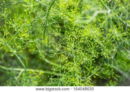 Dill. Anethum graveolens. Short-lived annuals. Medicinal plant. dill flowers. On blurred background. Field. Growing herbs. Horizontal photo