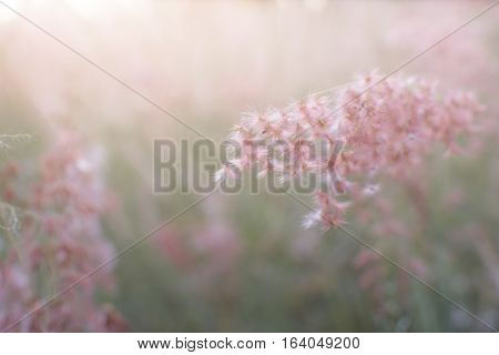 Silhouette Of Grass Flower With Sunset Background, Color Clouded Style.