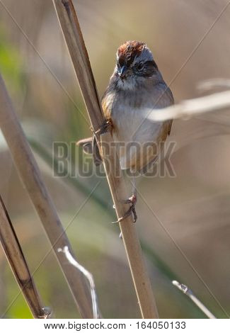 Swamp Sparrow (Melospiza georgiana) perched on a stem in a marsh