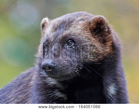 Closeup portrait of the Wolverine with vegetation in the background
