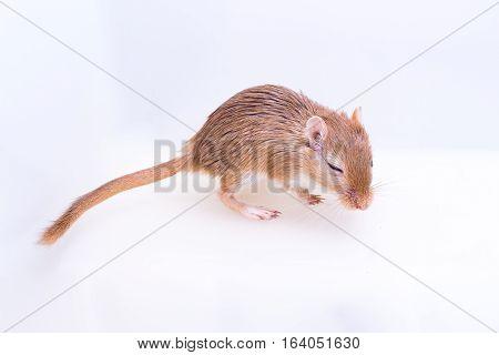 Mongolian Gerbil, Desert Rat