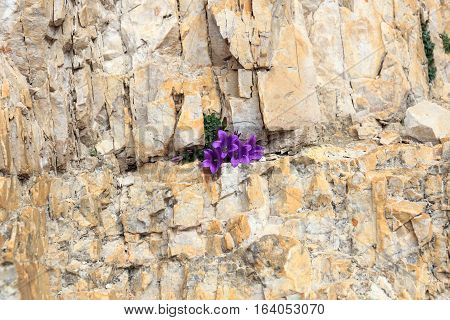 Purple flower blossom Dolomite bellflower (Campanula morettiana) in mountain rock crevice South Tyrol Italy