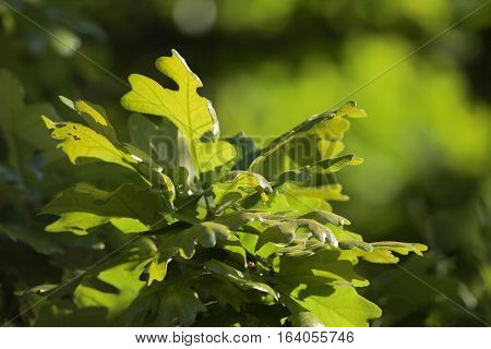 Post Oak (Quercus stellata) leaves back lit by sun in spring