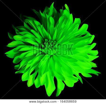 green flower on a black background isolated with clipping path. Closeup. Big shaggy flower. Dahlia.