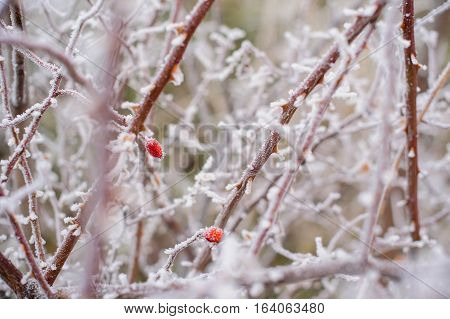 rosehips in the snow the wild rose Bush in frost health