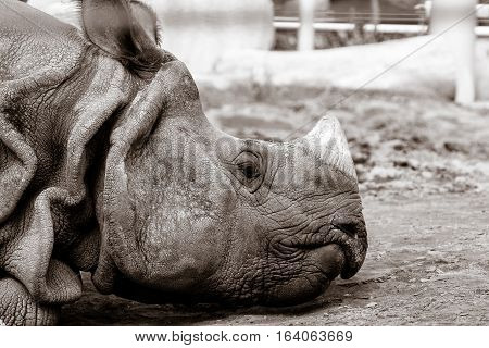 Black and white portrait of a rhinoceros in a zoo.
