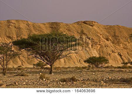 Sunrise in the desert. Sunrise image color. Trees in the desert. Arava Desert, Israel.