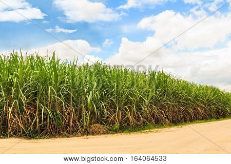 Sugarcane field beside country road in Thailand