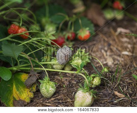 bush of fresh red strawberry with mold