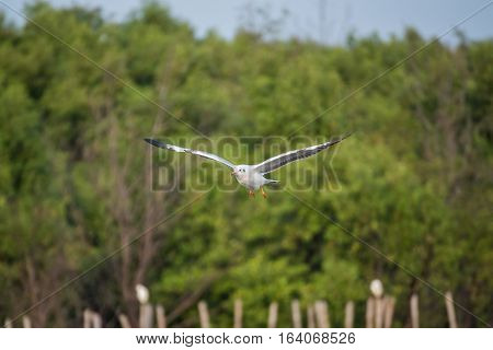 Brown-headed gull flying in the sky ( Forest background )
