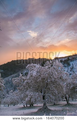 Winter wonderland with olive trees in the snow at sunset