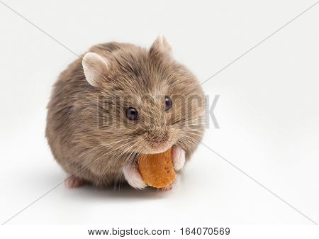 Adorable hamster eating fat. isolated on white.