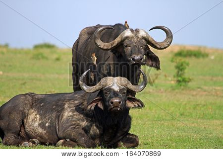 Two Buffalo resting on the plains with oxpeckersperched on the buffalo feeding on bugs in Bumi National Park with lush green grass on the edge of Lake Kariba, Zimbabwe, Southern Africa
