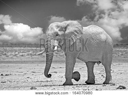 A large Bull Elephant walking across the Etosha Plains in black & white with a dramatic Sky, Etosha National Park, Namibia, Southern Africa