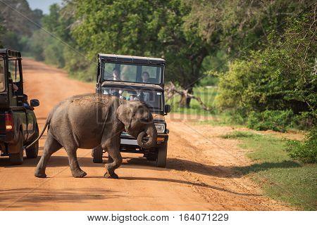 Sri Lanka: wild baby elephant crossing road in Yala National Park
