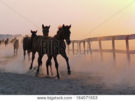The herd of foals comes back in the hot evening from a pasture