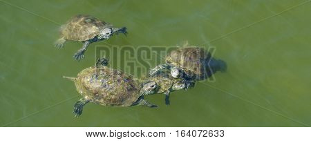 Small group of terrapins swimming in green water.
