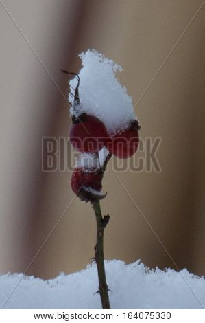 Close up of rose hip rose haw in winter covered with snow