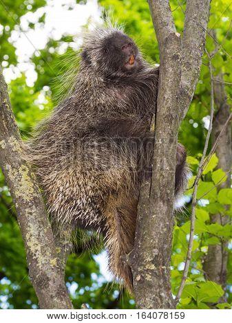 Tree Porcupine Climb