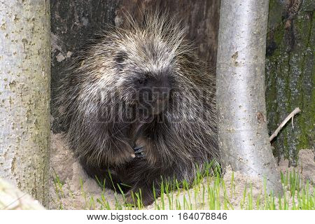 Hiding Tree Porcupine