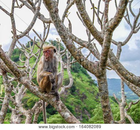 Monkey sitting on the temple tree. Dambulla Golden Temple, Sri Lanka