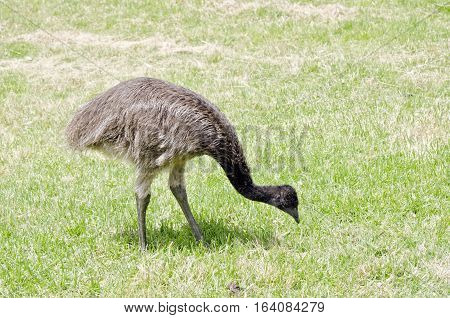 the young emu is wandering around the field