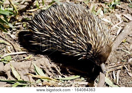 the echidna is looking for ants to eat