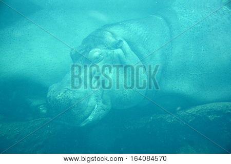 Under water hippopotamus (Hippopotamus amphibius), or hippo, from the ancient Greek for