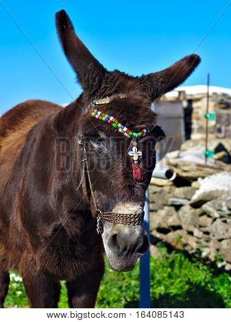 Big eared Greek donkey on Syros Island.