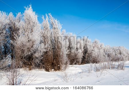 Snowed forest landscape in clear winter day