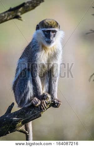 Portrait of an African Vervet Monkey - Chlorocebus aethiops - The grivet (Chlorocebus aethiops), also known as African green monkey and savanah monkey