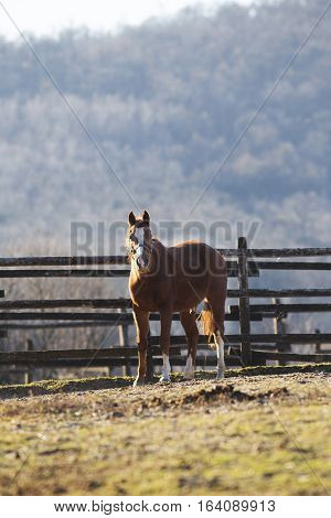 Young stallion standing in the corral rural scene