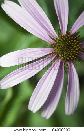 Echinacea photo. Pink medicinal coneflower on green background closeup photo.