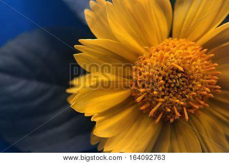 Yellow flower. Yellow flower on blue background macro photo.
